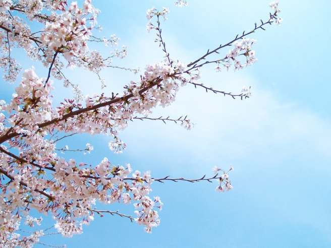 cherry-blossoms-1291878_960_720